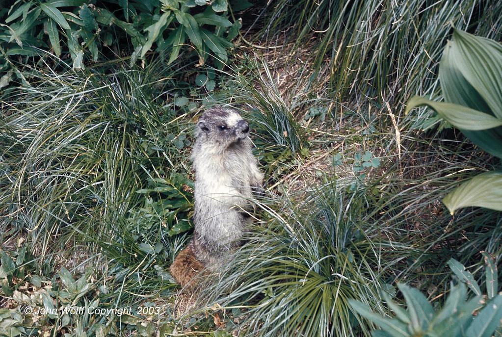 <b> Marmot at attention, Mt Ranier National Park </b>
