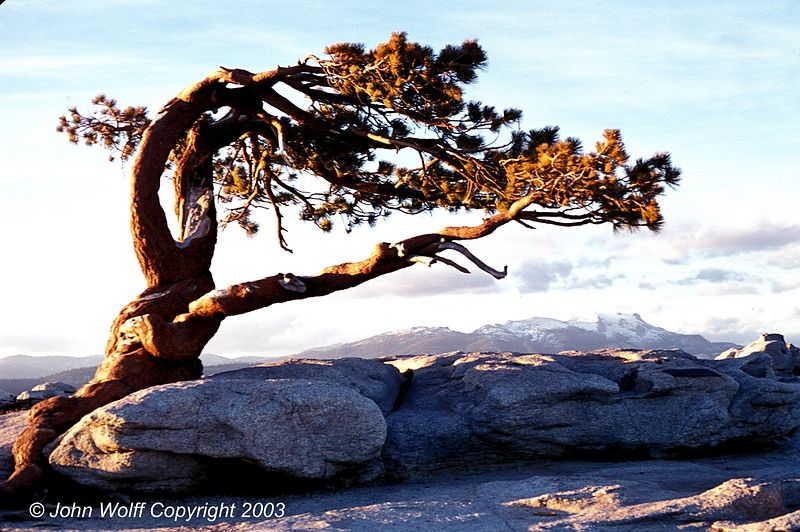 <b> Jeffrey Pine at dusk, Sentinel Dome, Yosemite </b>