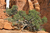 Gnarly Cedar in The Fiery Furnace,<br /> Arches National Park, Utah