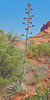 Palmer's Agave,<br /> Red Rock Wilderness,<br /> near Sedona, Arizona