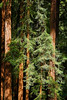 Giant Redwoods<br /> Muir Woods National Monument, CA