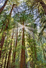 Giant Redwoods,<br /> Muir Woods National Monument, California