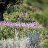 Lavendar wildflowers on Monatana mountainside