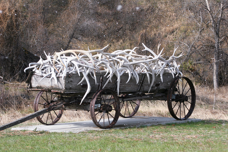 Antlers from elk and mule deer piled in an antique wagon