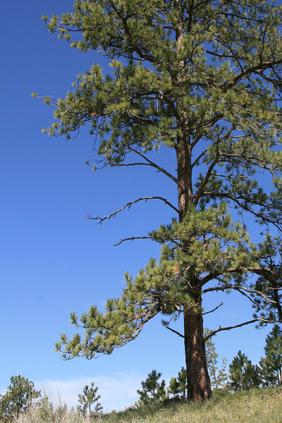 Tall Ponderosa pine on mountainside in rural Montana.