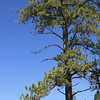 Tall Ponderosa pine on mountainside in rural Montana.