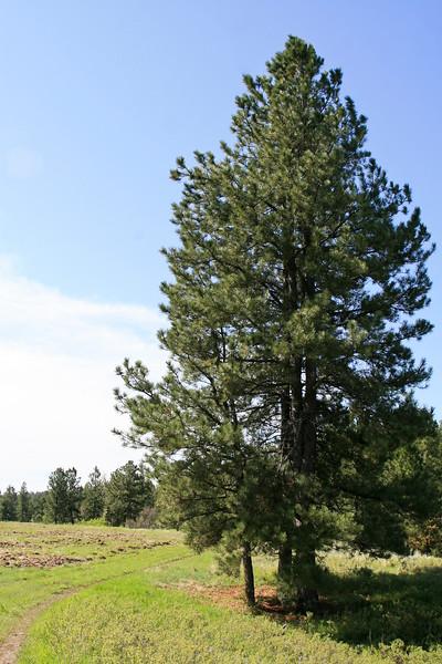 Tall Ponderosa pine