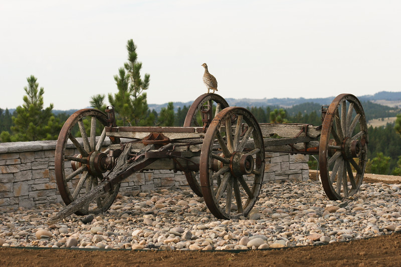 Grouse sits on old wagon in Montana