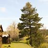 Tall ponderosa pine near old log buildings