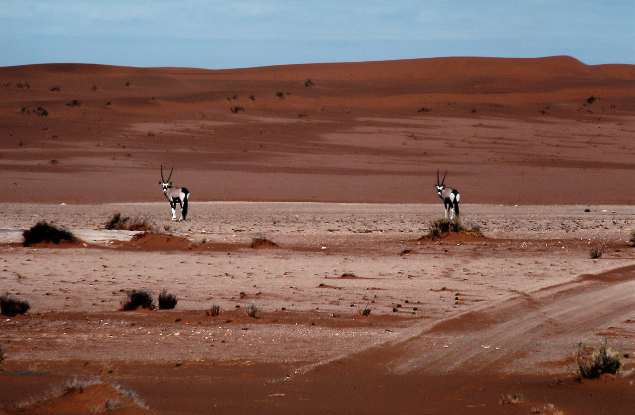 Pair of oryx (Oryx gazella; known in southern Africa as Gemsbok) in the Namib Desert. This photo is from the area around the Desert Ecology Research Unit, Gobabeb, Namibia, where the shifting dunes portion of the southern Namib (background) meets the gravel plain portion of the northern Namib (foreground).