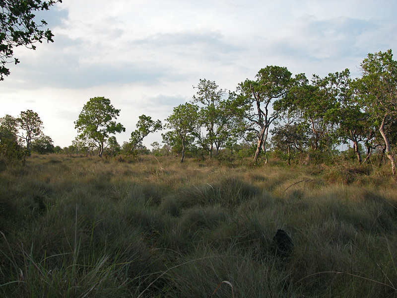 Gran Chaco habitat (semi-arid grassland) in the Beni region of northern Bolivia, just south of the border with Brazil and the Amazon forest. There are two black mounds whose tops are just visible above the grass; these are termite mounds that are ubiquitous in this landscape.