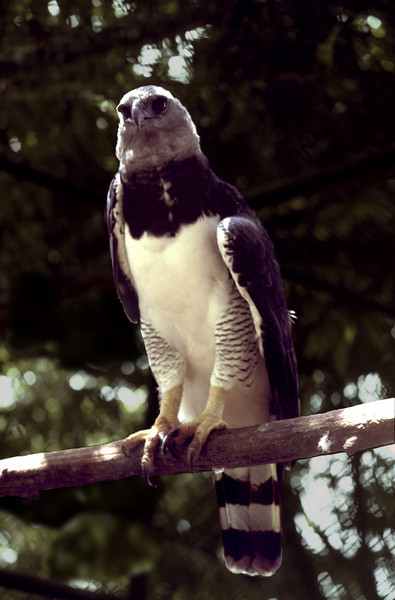 Harpy eagle, Soberania National Park, Panama