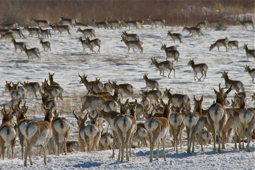 "I was visiting my friend Carlos Martinez del Rio in Laramie, Wyoming, when his neighbor (another biologist, Craig Benkman) called and said ""look out the window"".  About 500 pronghorn antelope wandered through the riparian zone bordering their neighborhood.  It seemed as if we were suddenly on the plains of east Africa."