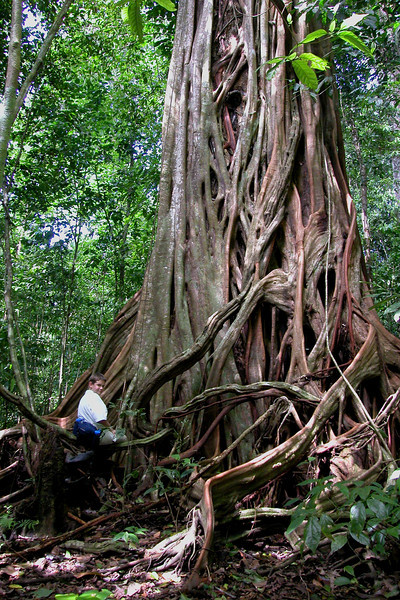 Alex on a large fig tree, Llorona plateau, Corcovado National Park, Osa Peninsula, Costa Rica