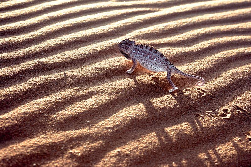 Namaqua Chameleon (Chamaeleo namaquensis) in the Namib desert, Namibia.