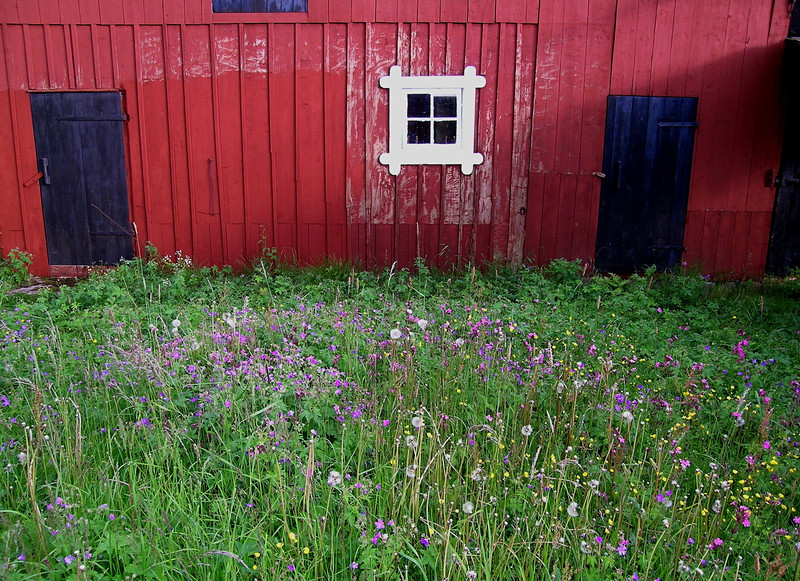 Red barn and wildflowers, Åland Islands, Finland