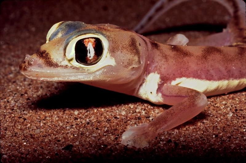 Web-Footed Gecko (Palmatogecko rangei), Namib Desert, Namibia