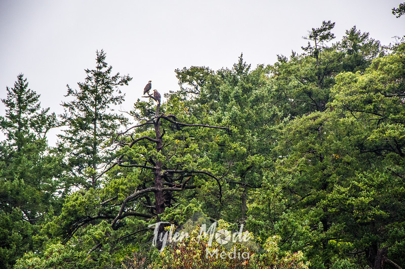199  G Bald Eagles in Tree