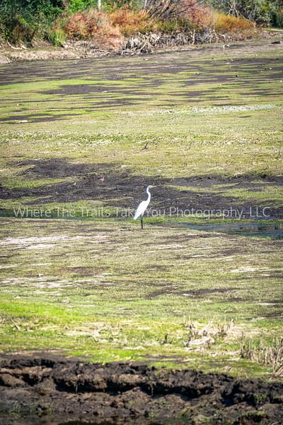 Lone Great Egret