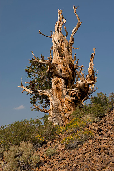 Bristlecone Pine Regrowth