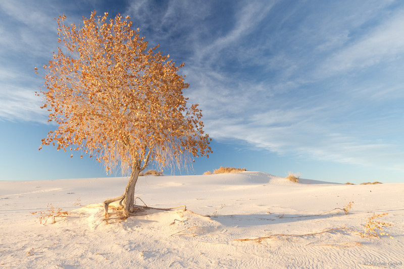 Lone tree - White Sands, New Mexico