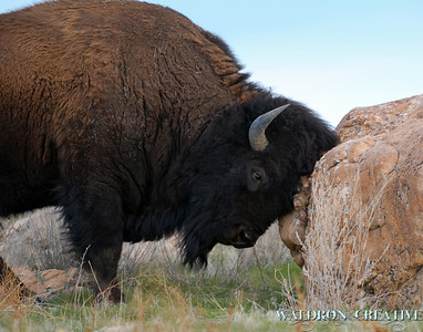 American Bison - Antelope Island, in the middle of the Great Salt Lake.