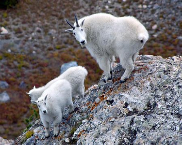 Mountain Goats - Wasatch Mountains, Utah.