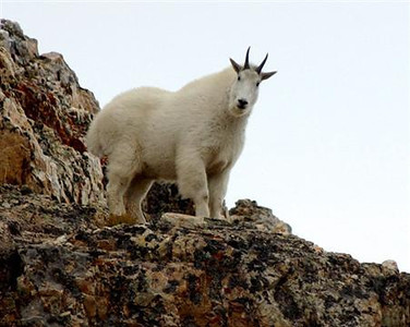 Mountain Goat - Wasatch Mountains, Utah.