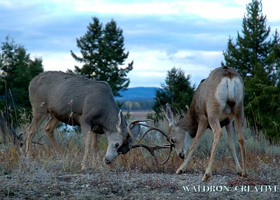 Mule deer scuffle, Jackson Hole Wyoming