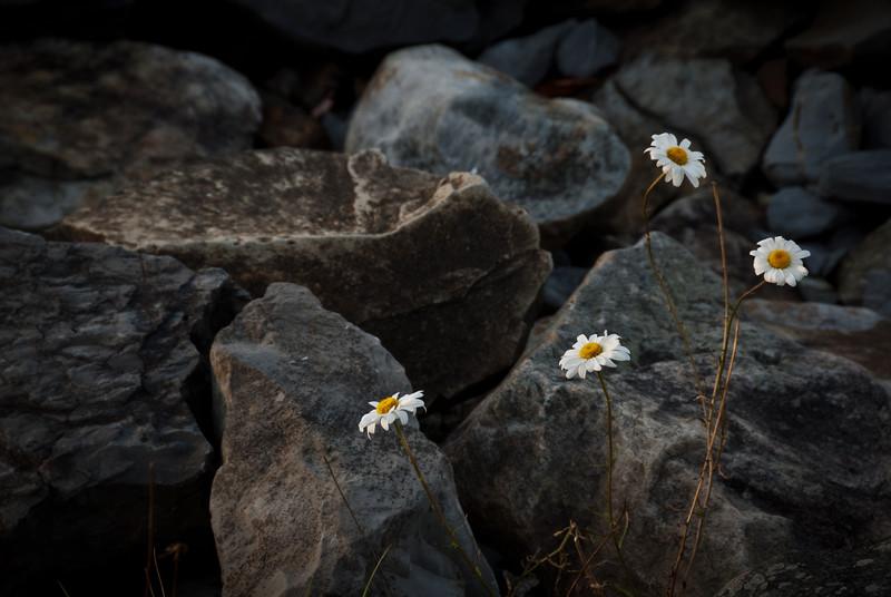 Last of the summer daisies at Summit Lake