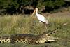 Brave stork