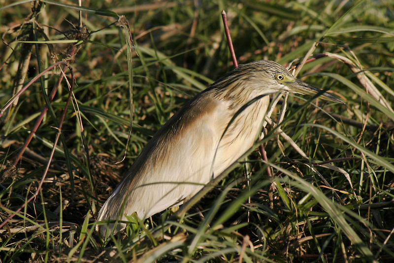 Squocco heron in marsh grass