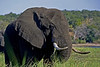 Elephant browsing marsh grass