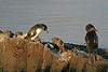 Galapagos penguin and flightless cormorant