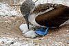 Blue-footed booby with well-trod chicks