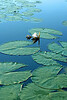 Water Lilies, Okovanga Delta