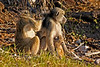 Baboon family grooming
