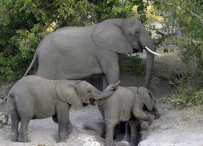 Elephant babies playing