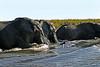 Elephants swimming Chobe River