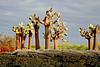 Giant opuntia cactus