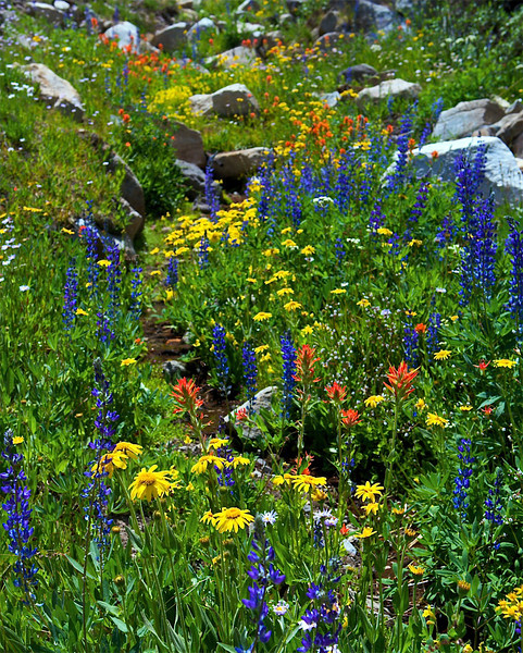 Wildflowers, Pacific Crest Trail, Carson Iceberg Wilderness, CA