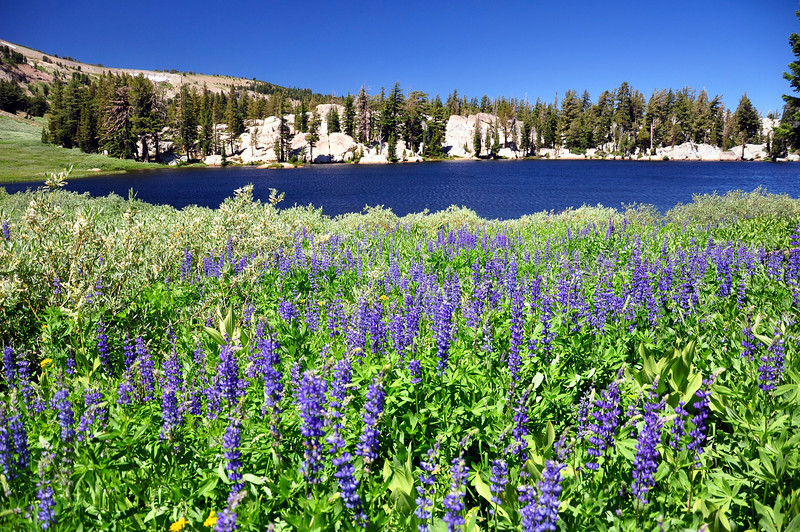 Showers Lake Wildflowers, Pacific Crest Trail, Mokelumne Wilderness, CA.