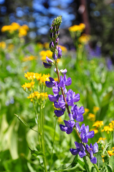 Wildflowers, Pacific Crest Trail, Mokelumne Wilderness, CA.