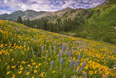 flo16:  Lupine and showy goldeneye sunflowers in the Albion meadows area of Little Cottonwood Canyon, Wasatch Mountains