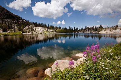 Phyllis's image of fireweed near the shore of Lake Mary, Big Cottonwood Canyon, Wasatch Mountains
