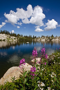 Fireweed and asters on the shore of Lake Mary, Big Cottonwood Canyon, Wasatch Mountains