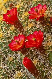 flo34: Claret Cup cactus southern Utah