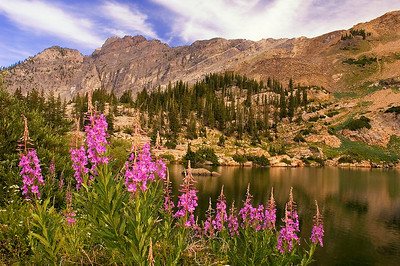 A stand of fireweed on the shore of Cecret Lake with Devil's Castle in the background; Little Cottonwood Canyon, Wasatch Mountains