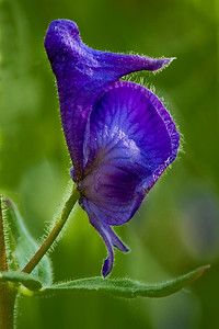 the common monkshood