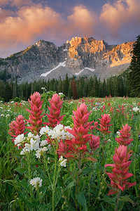 flo04: Bill captured first light on Devil's Castle in Albion Basin, Little Cottonwood Canyon, with a large field of Indian Paintbrush and Leafy Jacob's Ladder in the foreground.